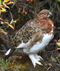 Ptarmigan can be spotted in the forest around your log cabin.
