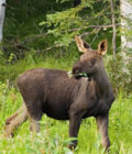 Talkeetna moose calf in the woods near the cabin