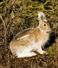 Rabbits are spotted in the woods around your log cabin.